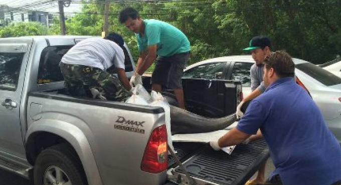 Un dauphin retrouvé mort au large de Phuket
