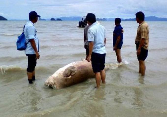 Une vache de mer