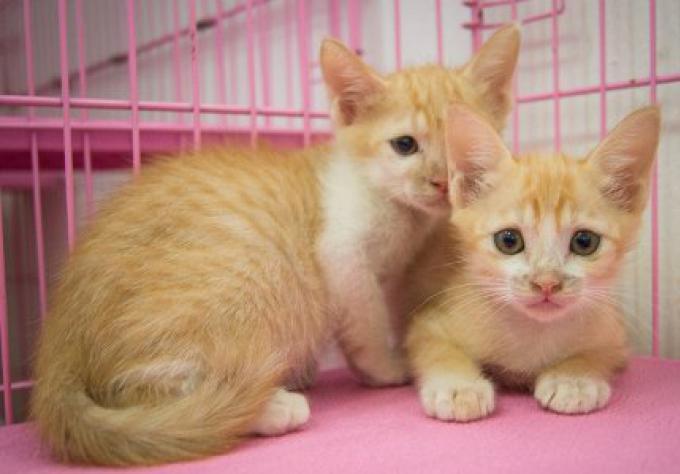 Animaux de compagnie: des chatons à Phuket ont besoin d'un foyer aimant