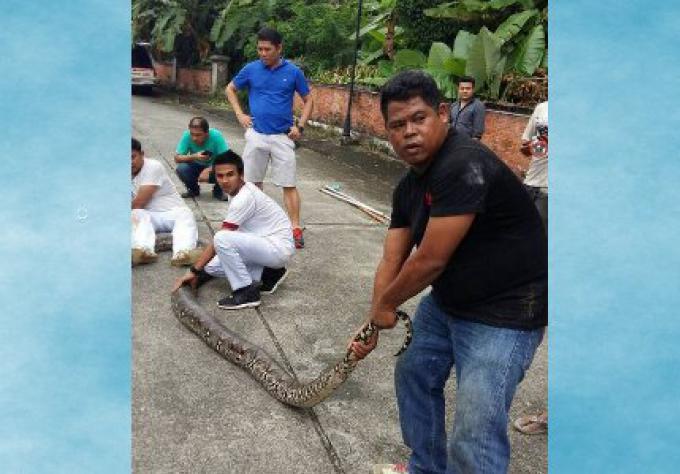 Un python énorme coincé sous une maison de Phuket