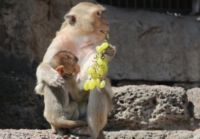 Un Buffet pour les singes à Lop Buri