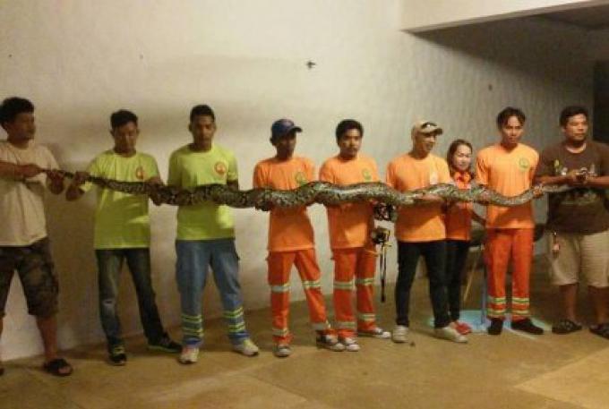 Un python de 5 mètres de long trouvé dans un Resort à Phuket