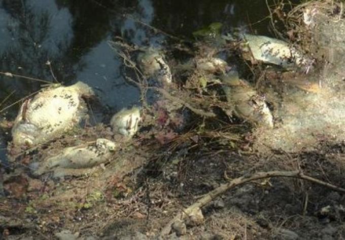 Fuites d'eau contaminée d'un élevages de crevettes