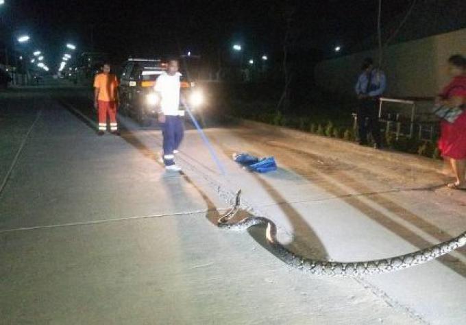 Un python de 5 mètres capturé