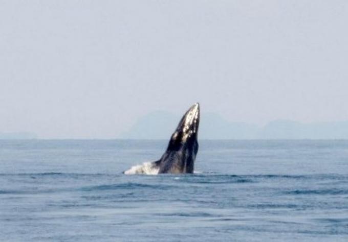 Une baleine repérée au large des côtes de Krabi