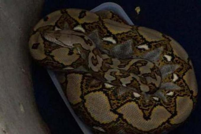 Le propriétaire d'un serpent qui a mordu un touriste chinoise Kissy à Phuket a été inculpé pour