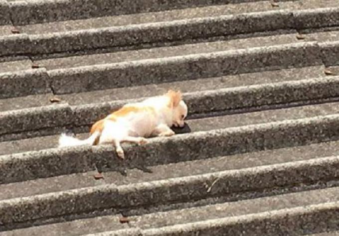 Un ladyboy jette un Chihuahua du balcon au 5ème étage