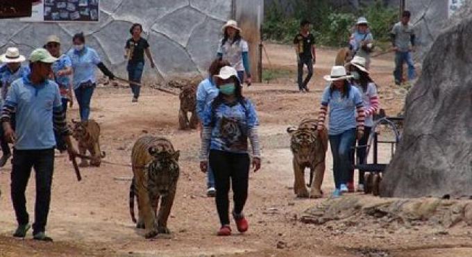 Le gouvernement commence à enlever les tigres du temple sali par un scandale.