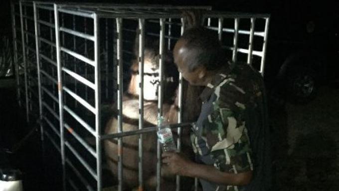 Un Orang outan retrouvé dans la jungle de Phuket bel et bien vivant, que l'ont pense être «Milo»