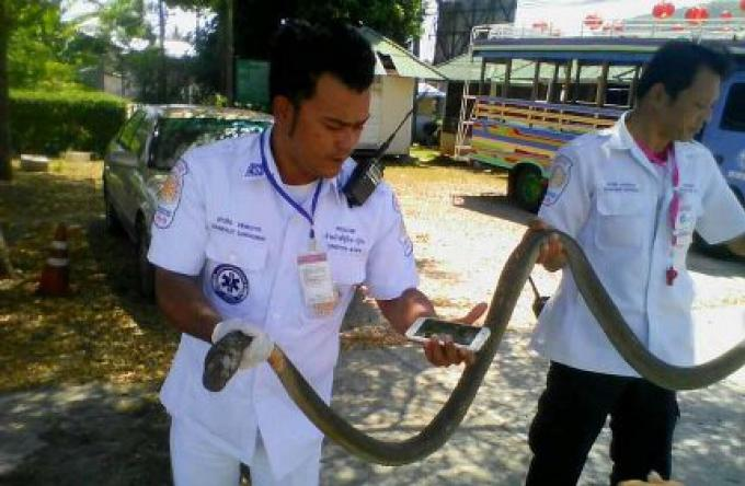 Un King Cobra tué
