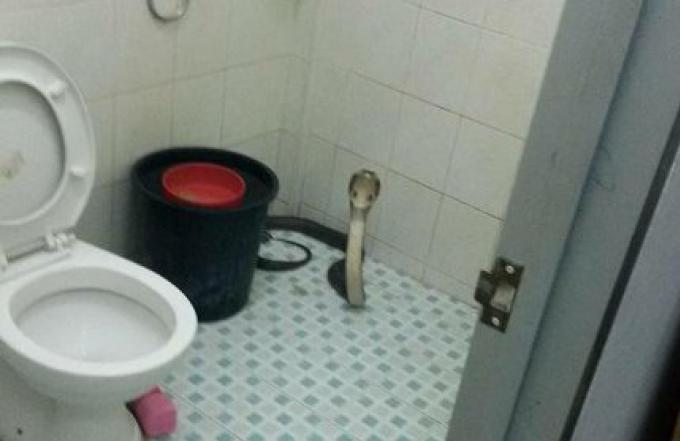 Un cobra trouvé à coté de ses toilettes