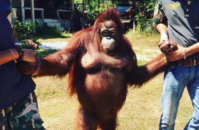 Le Zoo de Phuket ne reponde pas aux fonctionnaires dans leur enquete sur l'affaire de Milo, un