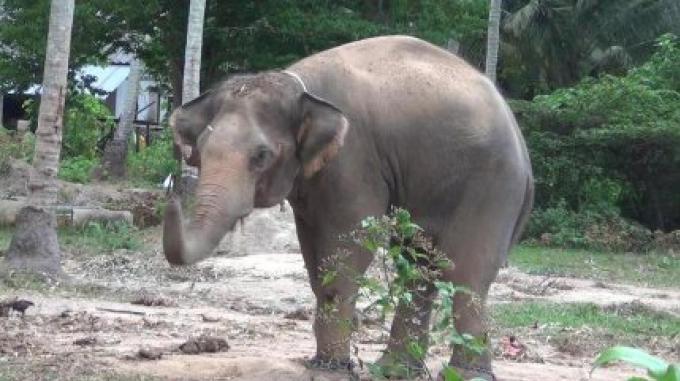 L'éléphant en colère tue un cornac dans un camp de trekking