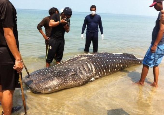 Un filet de pêche soupçonné d'avoir tué le requin baleine près de Phuket -