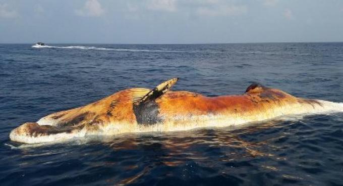 La recherche pour la baleine morte «disparu» a été lancée