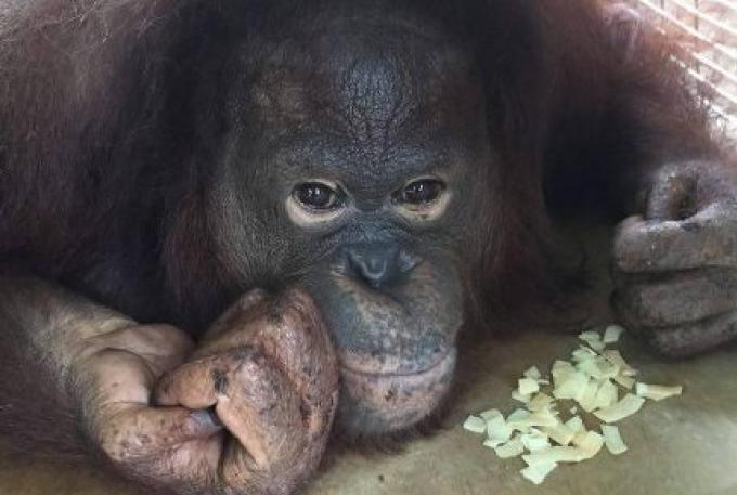 Milo l orang outan est en bonne voie de guérison