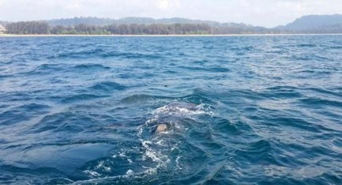 Un requin baleine au large de Phuket inspire confiance dans les conditions de la vie marine