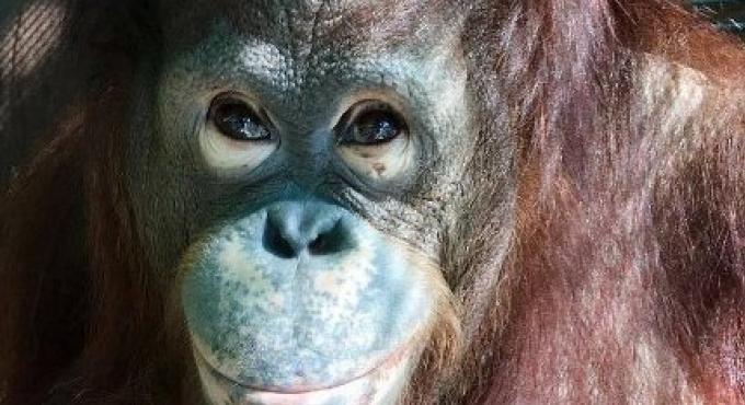 Milo, l'orang outan libérée du zoo de Phuket est morte