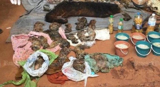 Le temple fait face à des accusations après que 40 bébés tigres morts ont été trouvés