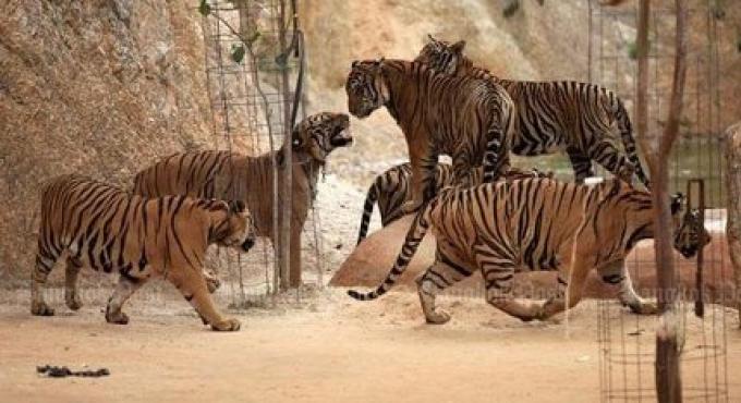 Un monk du Tiger Temple attrapé fuyant avec des peaux et des crocs de tigre
