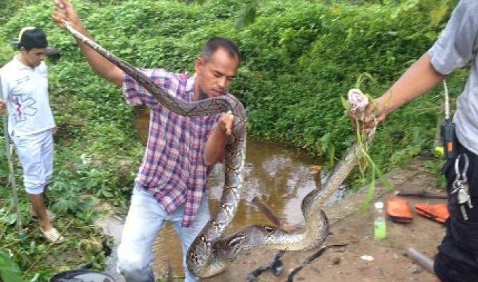 Deux pythons retirés d'un tuyau de drainage à Phuket