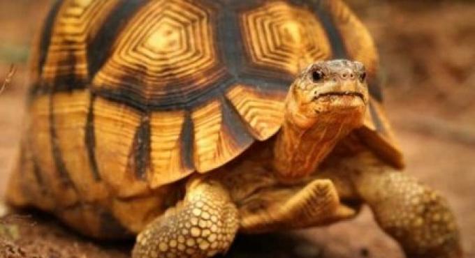Une recherche commence après que des tortues rares disparaissent