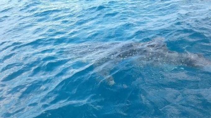 Un requin baleine repéré par des pêcheurs au large de la côte sud-ouest de Phuket