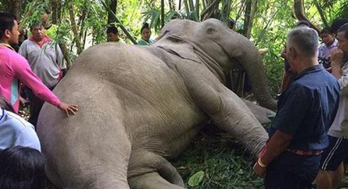 Un elephant électrocuté par des lignes à haute tension