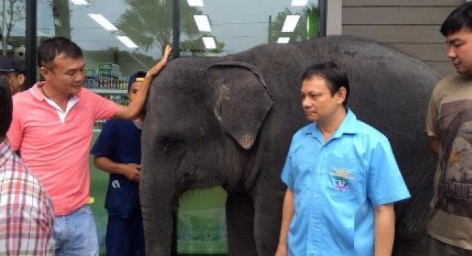 Les officiels de Phuket saisissent un autre bébé éléphant