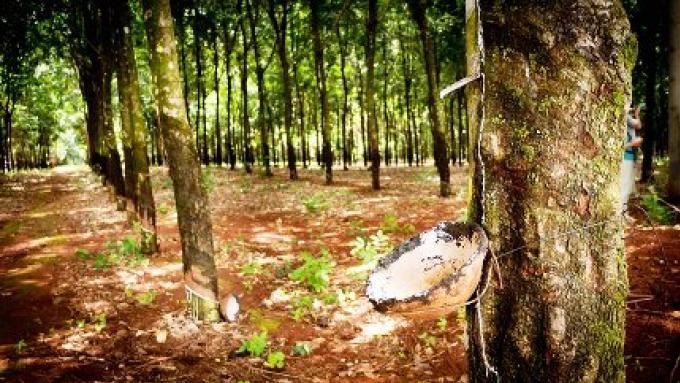 Les graines dans une chaussure... L'arbre qui a changé le paysage de Phuket