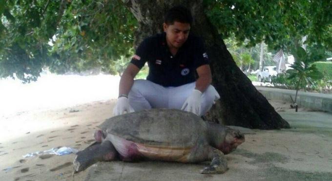 Une tortue retrouvée morte a Kamala Beach