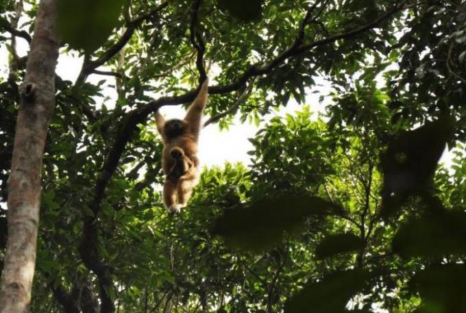 Les bébés gibbons reprennent leurs aises à Phuket