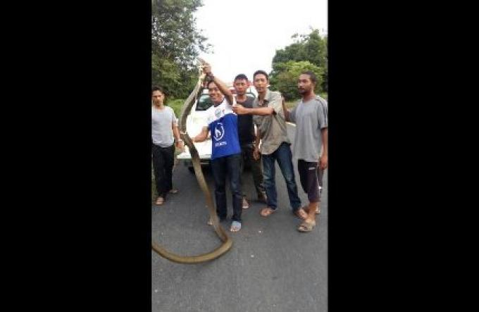 Un attrapeur de serpent capture un King Cobra de cinq mètres de long