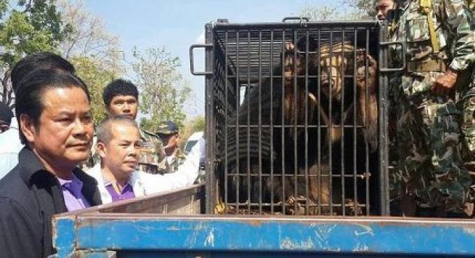 Des Ours noirs asiatiques saisis au Tiger Temple de Thaïlande