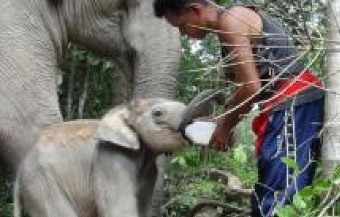 Un vétérinaire en quête de dons pour nourrir un bébé éléphant