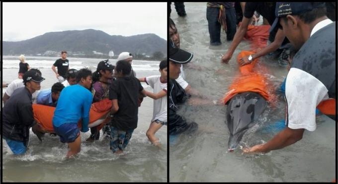 Le dauphin repêché sur une plage de Phuket n'a pu être sauvé