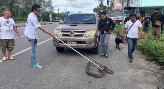Un python pris en stop par un pick-up
