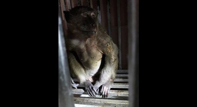 Un macaque meurt six jours après avoir été électrocuté