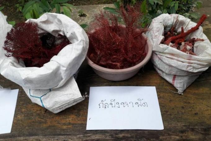 Des vendeuses de corail arrêtées a Krabi