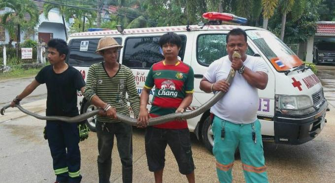 Un cobra de 3 mètres de long attrapé a Chalong