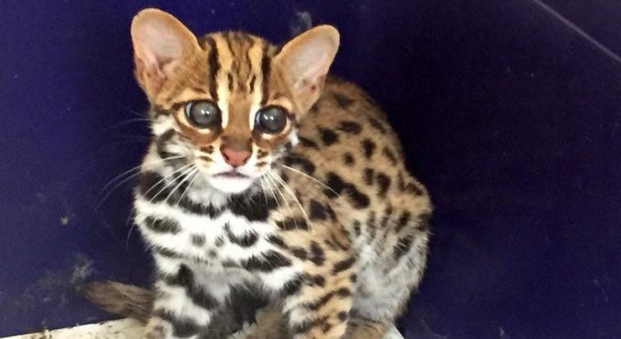 Un 'chat léopard' relâché dans la jungle de Phuket