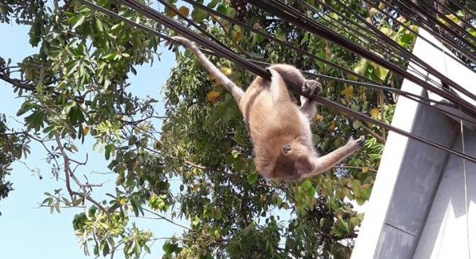 Un macaque a longue queue sème la pagaille à Phuket Town