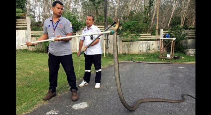 Un cobra royal géant attrapé en plein duel nuptial