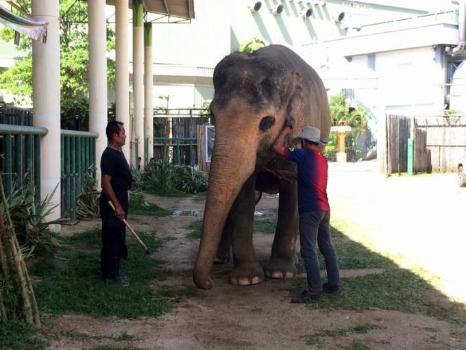 Des tests And sur les éléphants pour lutter contre le trafic