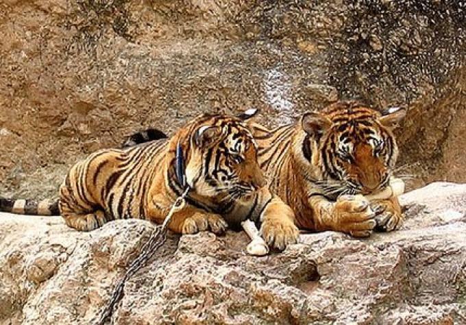 Que vont devenir les tigres confisqués au Tiger temple de Thaïlande