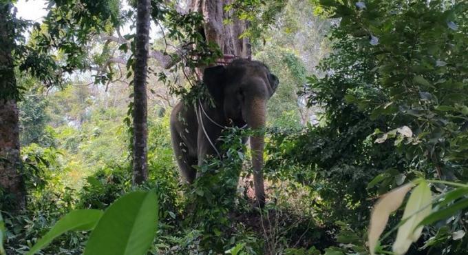 Un éléphant attaque son mahout
