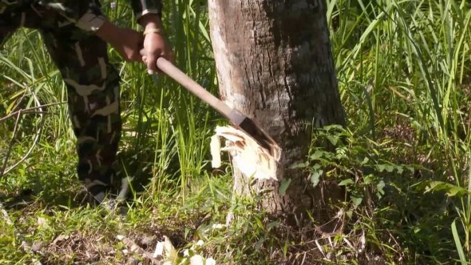 Un raid contre les plantations illégales d'hévéa dans les parcs nationaux