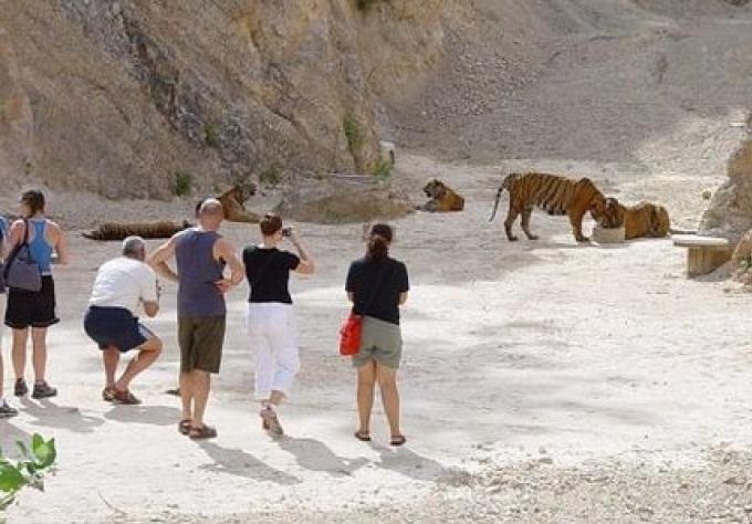 Le temple doit donner les147 tigres, vendredi