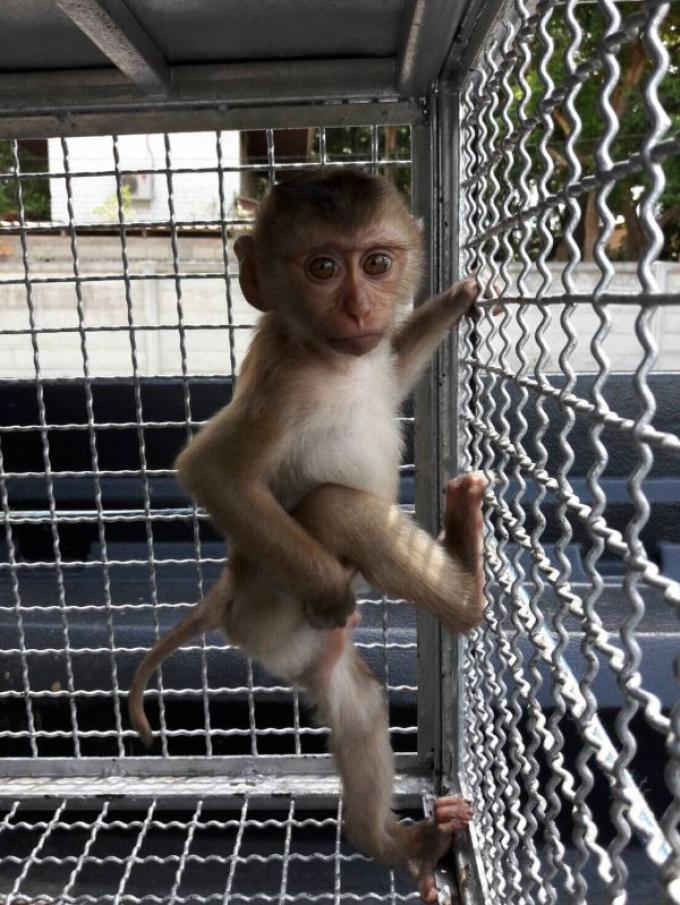 Un bébé macaque orphelin mis en lieu sûr dans une réserve de Phuket