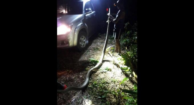 Attention au cobra royal géant